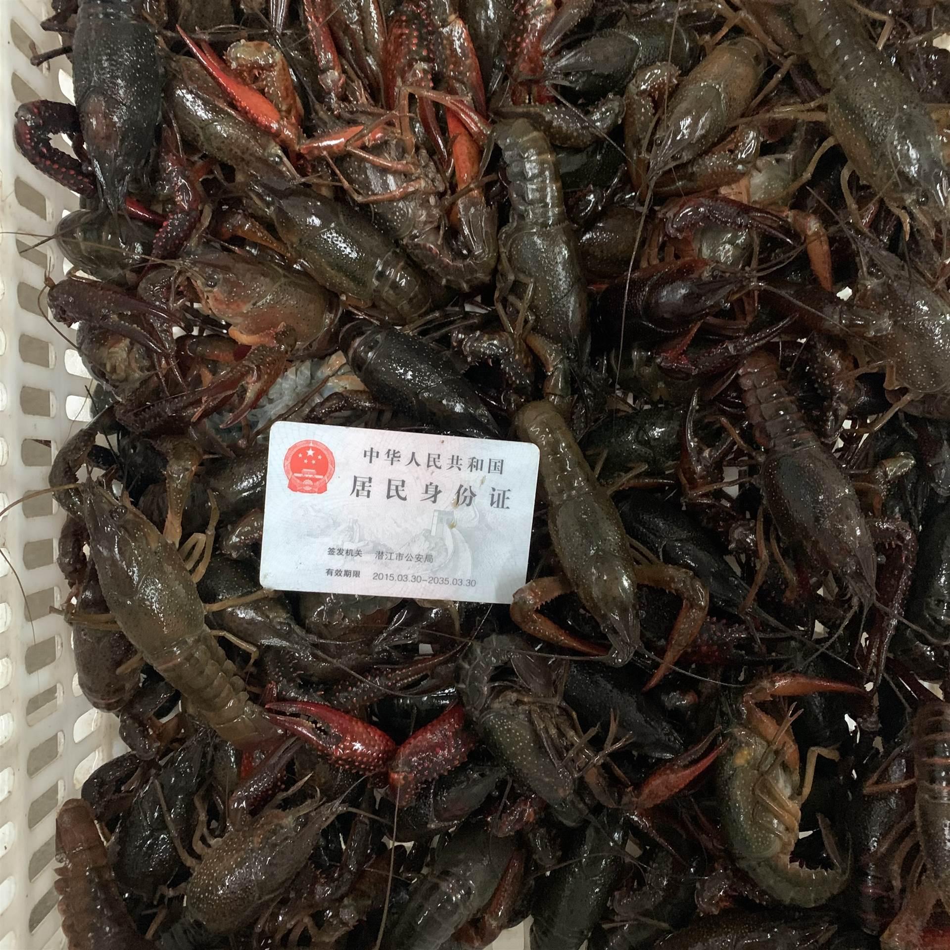 2021年3月1日潛江小龍蝦6789錢大青蝦肉質飽滿底板50斤起批發全國