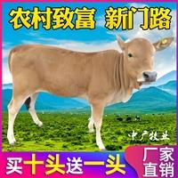 小肉牛苗价格 肉牛现在价格市场好 小牛苗批发中广牧业