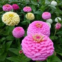 花卉百日草种子批发 各种草花种子销售 百日草种子厂家
