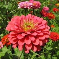 百日草种子 单色百日草种子价格 草花种子品种齐全 包邮