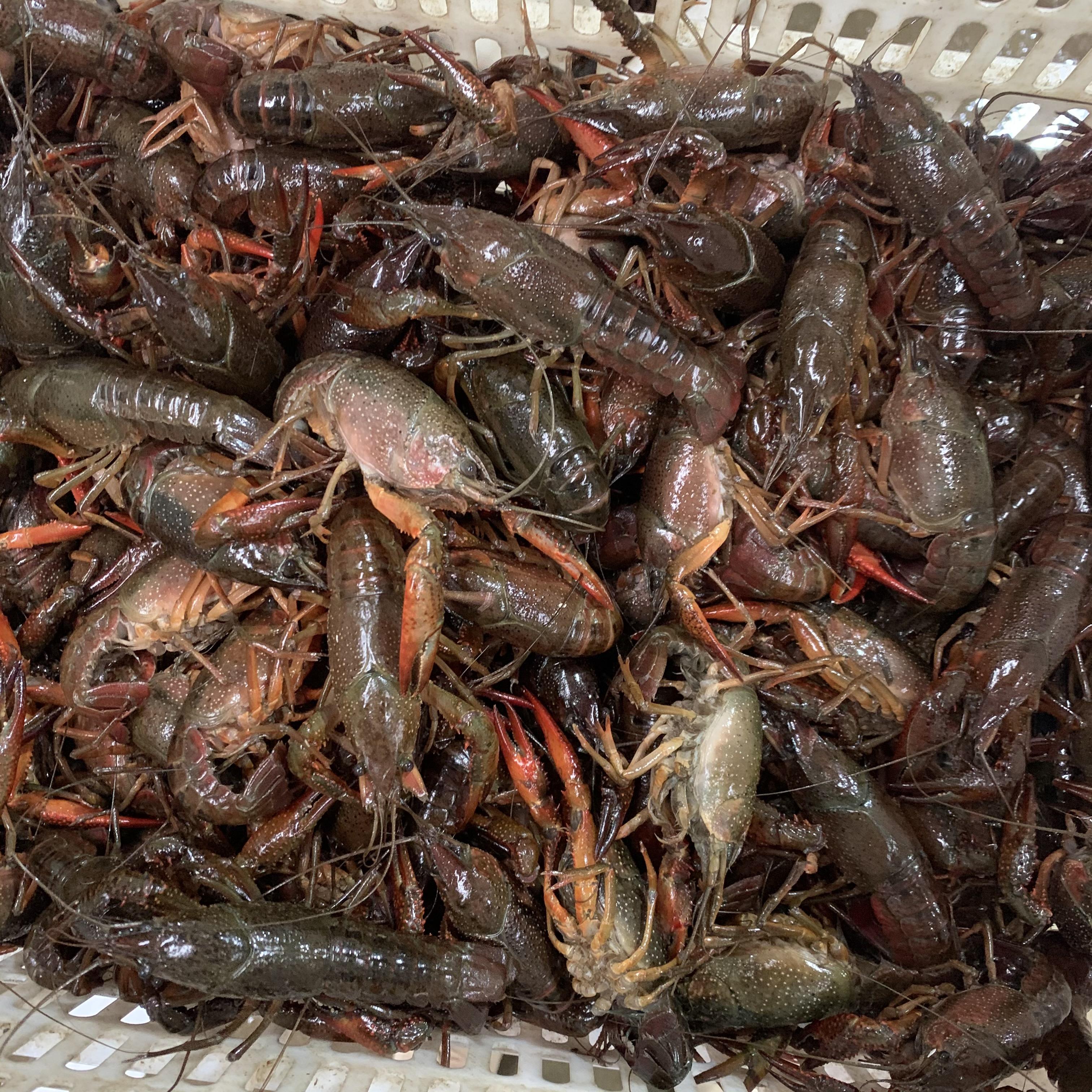 潛江小龍蝦3月30日青蝦紅蝦各種規格價格行情50斤起批發全國各地