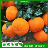 091沃柑苗 百果园苗场 新培育品种 无核大果 现有大量出售