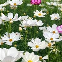 白色波斯菊种子销售 波斯菊种子几月份种植