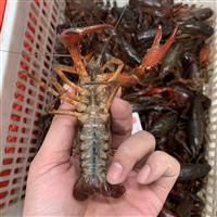 2021年炮头小龙虾9钱以上个头超大鲜活小龙虾每天限量供应中批发