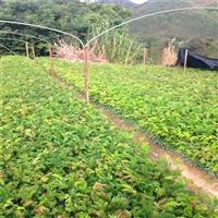 安徽红绒球袋苗 精品红绒球苗 园林绿化苗木多规格供应