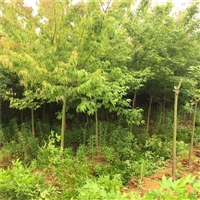 西藏青枫小苗 4公分鸡爪槭 多规格供应 欢迎咨询