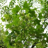 贵州青枫 4公分鸡爪槭 信息推荐