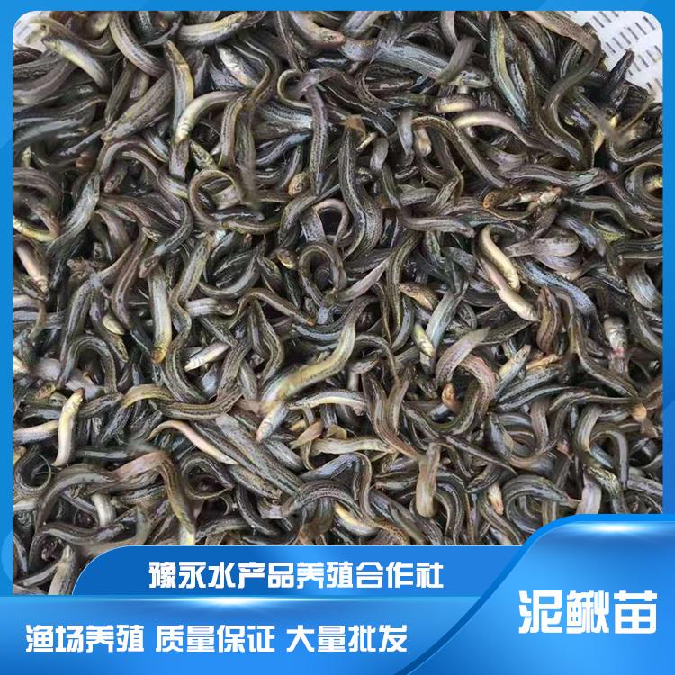河北泥鳅苗  台湾泥鳅品种 大量批发