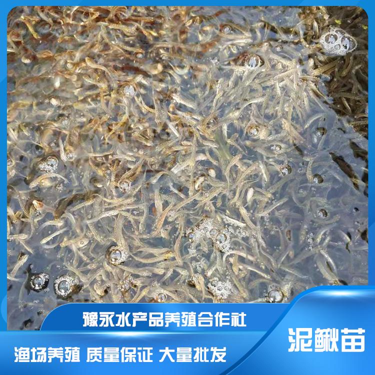 安徽安庆市泥鳅养殖 台湾泥鳅苗养殖方法泥鳅苗养殖基地