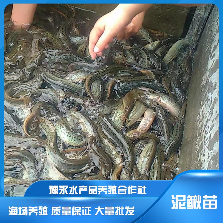 河北泥鳅苗养殖基地  泥鳅苗养殖技术 市场批发