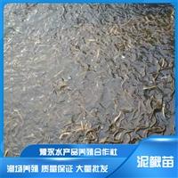 河南濮阳市泥鳅养殖 泥鳅苗批发市场 泥鳅苗养殖