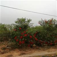 垂枝红千层容器苗 串钱柳移植苗 物美价低 福建基地直供