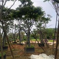 麻楝绿化苗木批发 精选麻楝树苗10-20公分 基地供应工程植物苗