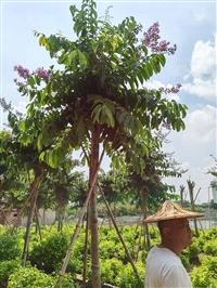 宁夏大叶紫薇价格 大叶紫薇容器苗大花紫薇树袋苗园林景观供应