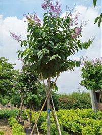 四川大叶紫薇价格 大叶紫薇容器苗大花紫薇树袋苗园林景观供应