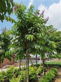 浙江大叶紫薇价格 大叶紫薇容器苗大花紫薇树袋苗园林景观供应