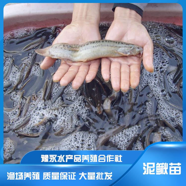 河北泥鳅苗养殖  泥鳅苗繁殖 量大从优