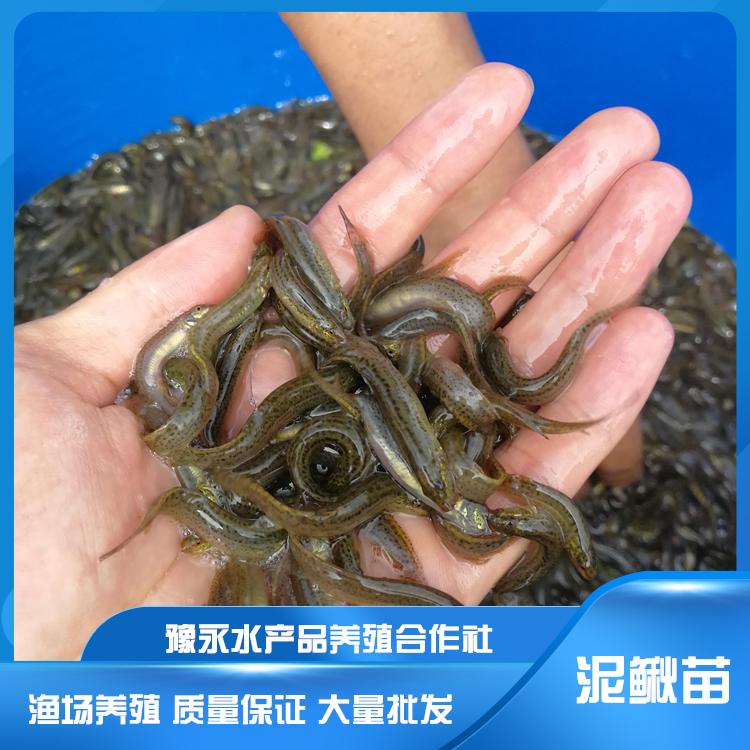 河南泥鳅苗繁育技术  纯种台湾泥鳅苗 量大从优