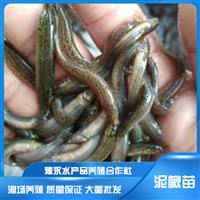 山东枣庄市泥鳅苗的成活率 泥鳅苗出售 泥鳅养殖场