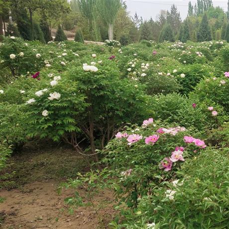 紫斑牡丹種植基地 中川牡丹成型株牡丹大樹種植 觀賞牡丹種植基地 1.5米高的大樹牡丹