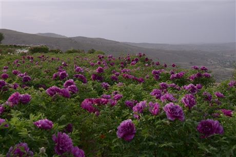 紫斑牡丹花苗批發 西北紫斑牡丹生產基地 牡丹花苗價格 紫斑牡丹品種