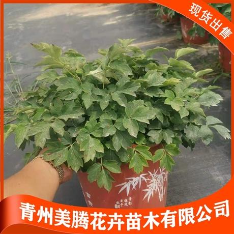 青州出售牡丹 美騰 牡丹種植基地 牡丹小苗 歡迎致電