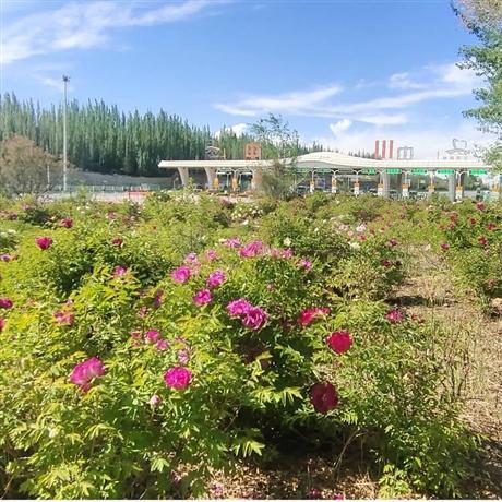 西北牡丹種苗批發 中川牡丹園 紫斑牡丹苗 牡丹樹
