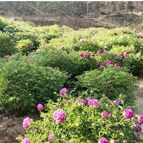 紫斑牡丹種植 中川牡丹園樹牡丹種植 紫斑牡丹品種 甘肅紫斑牡丹